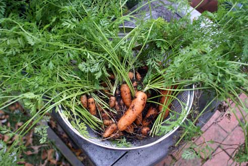 carrots-from-the-garden-2