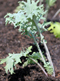 Tilling, Fertilizing, Transplanting and Planting – April Garden Update