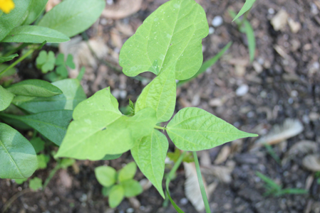 wild green beans Where the Wild Things Are!   Garden Update